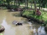 Буйвол в реке / Вьетнам