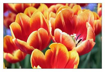 Тюльпаны / Нидерланды