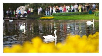 Лебеди / Нидерланды