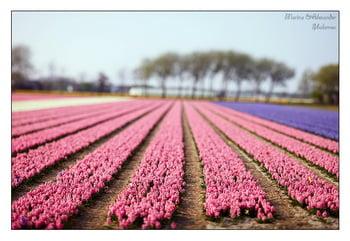 Гиацинты / Нидерланды
