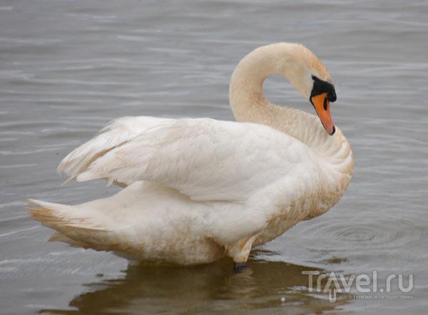 Лебедь в Куршском заливе / Фото из Литвы