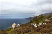 Овцы / Ирландия