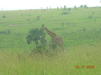 Жирафы / Руанда