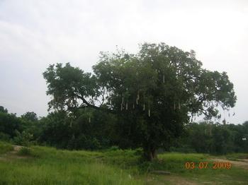 Колбасное дерево / Руанда