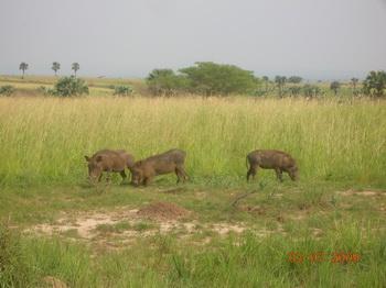 Мерчисон Фоллс. Свиньи-бородавочники / Руанда