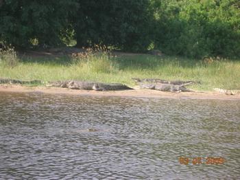 Нильские крокодилы / Руанда