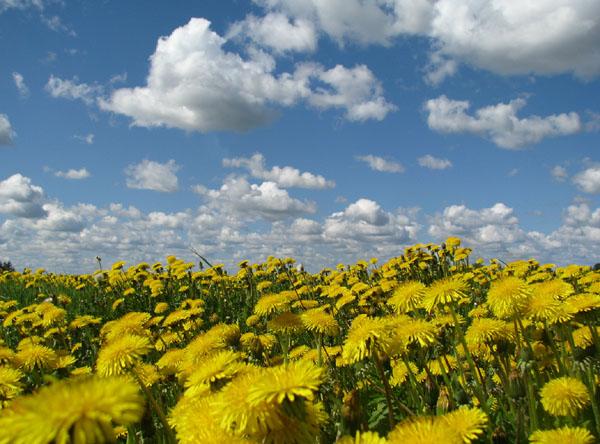 Цветущие поля национального парка Лаахемаа / Фото из Эстонии