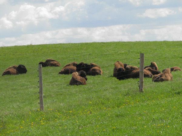 Бизоны греются на солнце, ферма Piisonifarm / Фото из Эстонии
