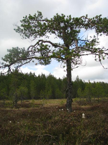 На болоте Виру есть удобные тропинки и смотровые вышки / Фото из Эстонии
