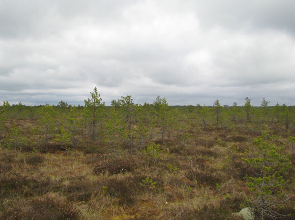 Болото Виру - крайне живописное место / Фото из Эстонии