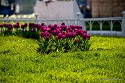 Тюльпаны / Турция