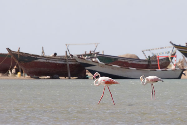 Розовые фламинго в Аль-Мохе, Йемен / Фото из Йемена