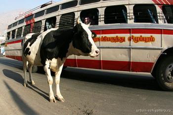 Священное животное / Индия