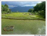 По рисовым терассам разбросаны булыжники / Индонезия