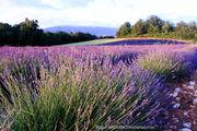 Лаванда / Франция
