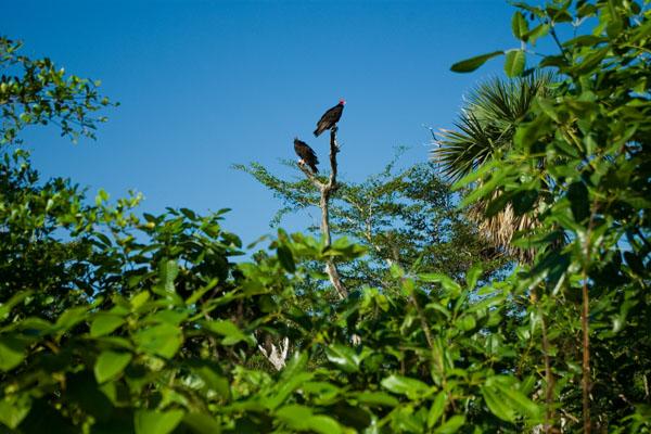 Красноголовый гриф - типичный представитель кубинской фауны / Фото с Кубы