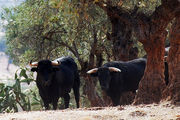 toro de lidia / Испания