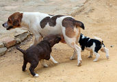 Маленькие андалусские собаки / Испания