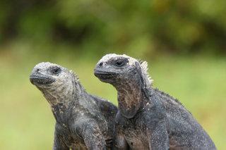 Морская игуана / Эквадор