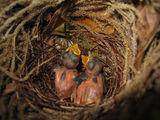 Птенчики / Индонезия