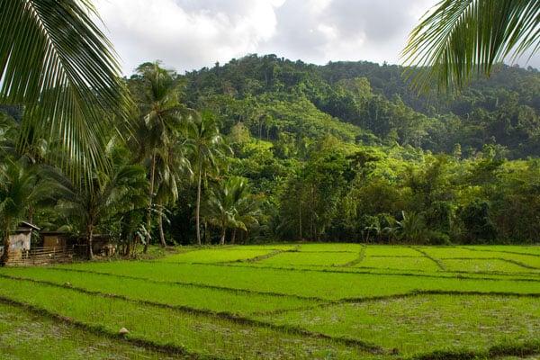 Рисовые поля недалеко от Пуэрто-Принсесы, остров Палаван / Фото с Филиппин