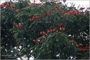 Тюльпановое дерево / Гватемала