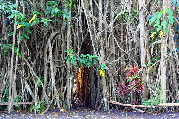 Деревья баньян - еще одна достопримечательность Вануату / Фото из Вануату