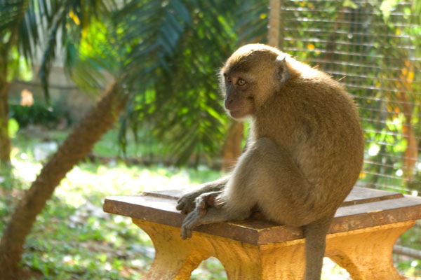 Храмы - излюбленное местообитание обезьян, Краби / Фото из Таиланда