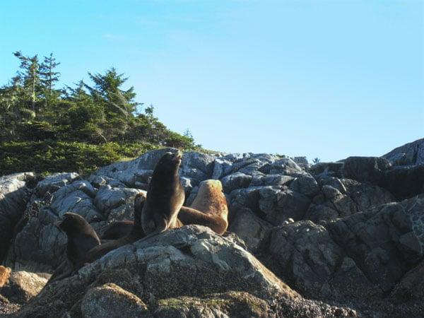 Морские львы, Ванкувер / Фото из Канады