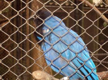 Синяя птица / Бразилия