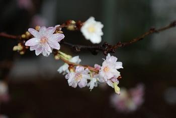 Цветущее дерево / Германия