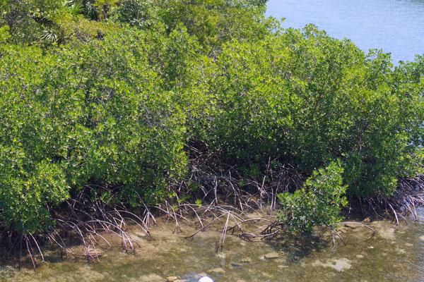 Мангровые заросли на острове Роатан / Фото из Мексики