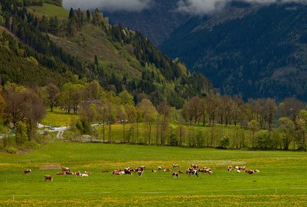 Счастливые альпийские коровы в Австрии / Фото из Австрии