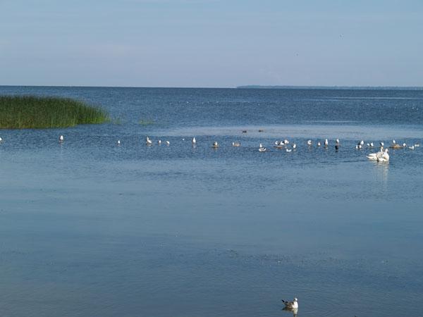 У живописного берега Куршского залива / Фото из России