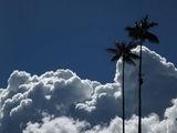 Wax palms / Колумбия