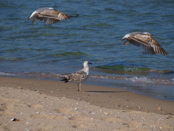 Чайки на пляже в Приморско / Фото из Болгарии