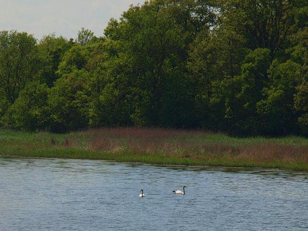 Пара лебедей у побережья Приморско / Фото из Болгарии