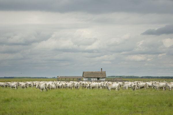 Венгерские серые быки в Хортобадьской пусте / Фото из Венгрии