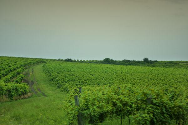 Виноградники в окрестностях Эгера / Фото из Венгрии
