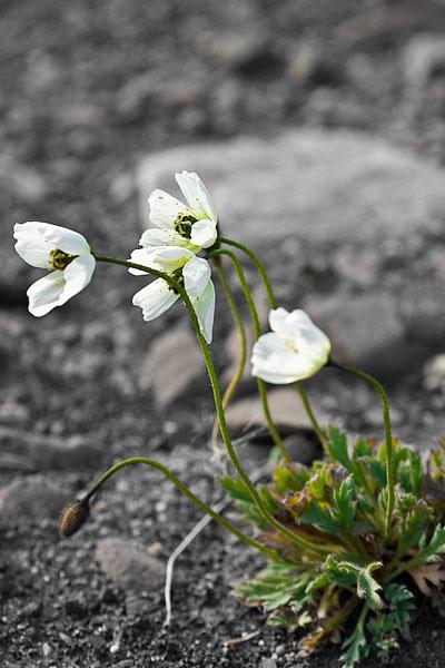 Полярный мак на суровой земле Шпицбергена / Фото со Шпицбергена