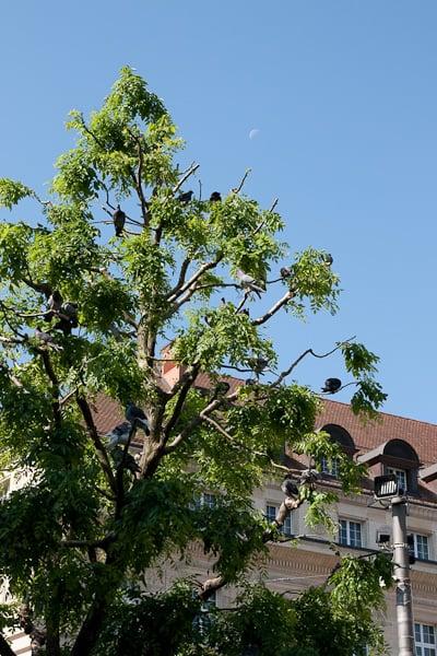 Голуби на деревьях / Фото из Швейцарии