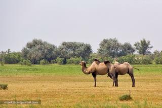 Верблюды / Россия