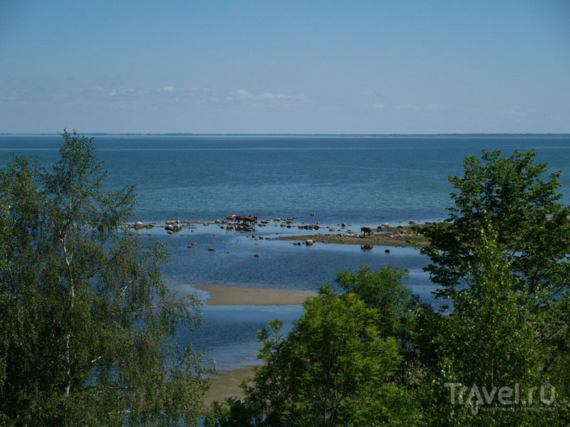 Табун лошадей на берегу Муху / Фото из Эстонии