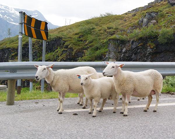 Безмятежные овечки на дороге в Норвегии / Фото из Норвегии