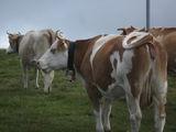 Коровы / Швейцария
