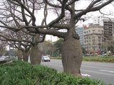 Колючие деревья на Av. 9 / Аргентина