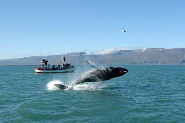 Кит в заливе около Хусавика - из архива Gentle Giants / Фото из Исландии