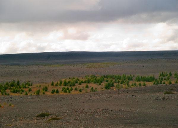 Настоящий исландский лес / Фото из Исландии