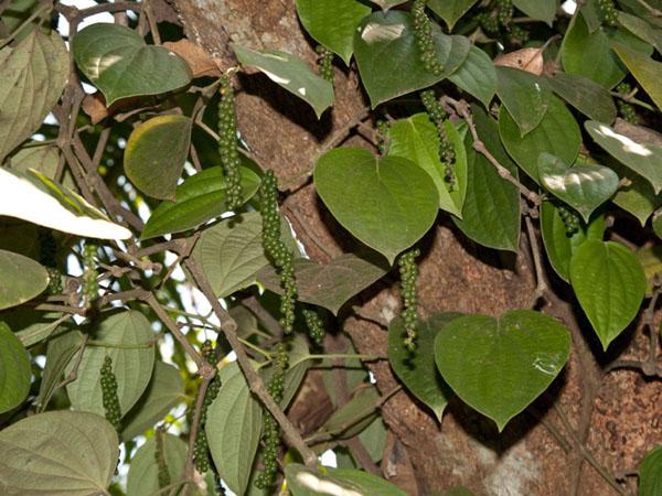 Зеленый перец, сад на острове Munroe  / Фото из Индии