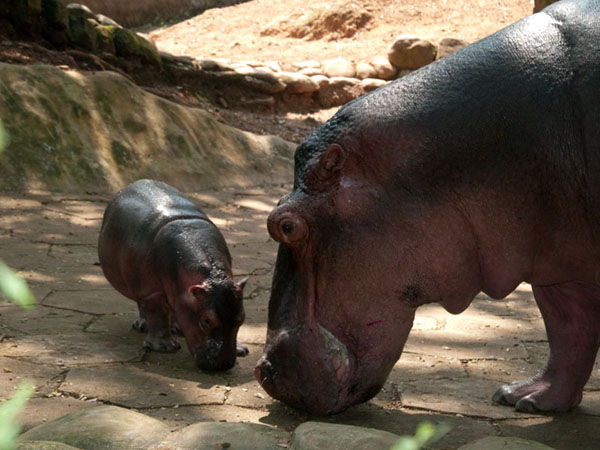 Вольер с бегемотами, зоопарк Тривандрума / Фото из Индии